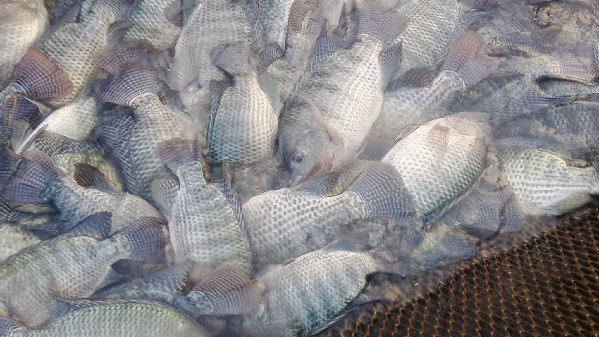 môi trường sống của cá rô phi