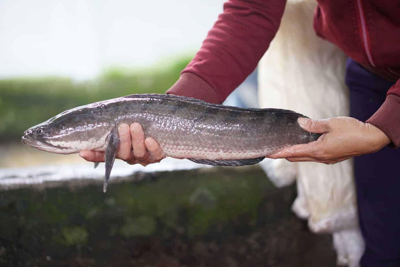cá lóc làm món gì ngon
