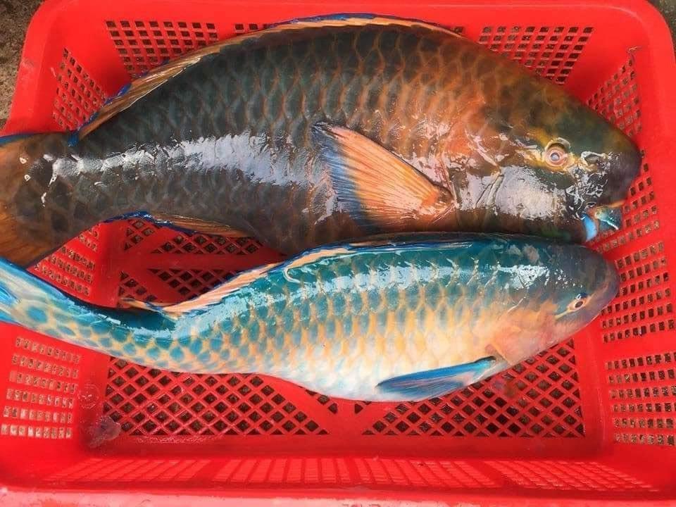 cá mó xanh giá bao nhiêu
